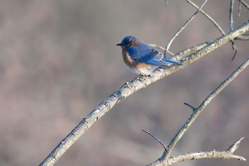 Gratis arkivbilde med blå fugl