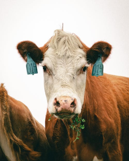 Brown and White Cow With White Background