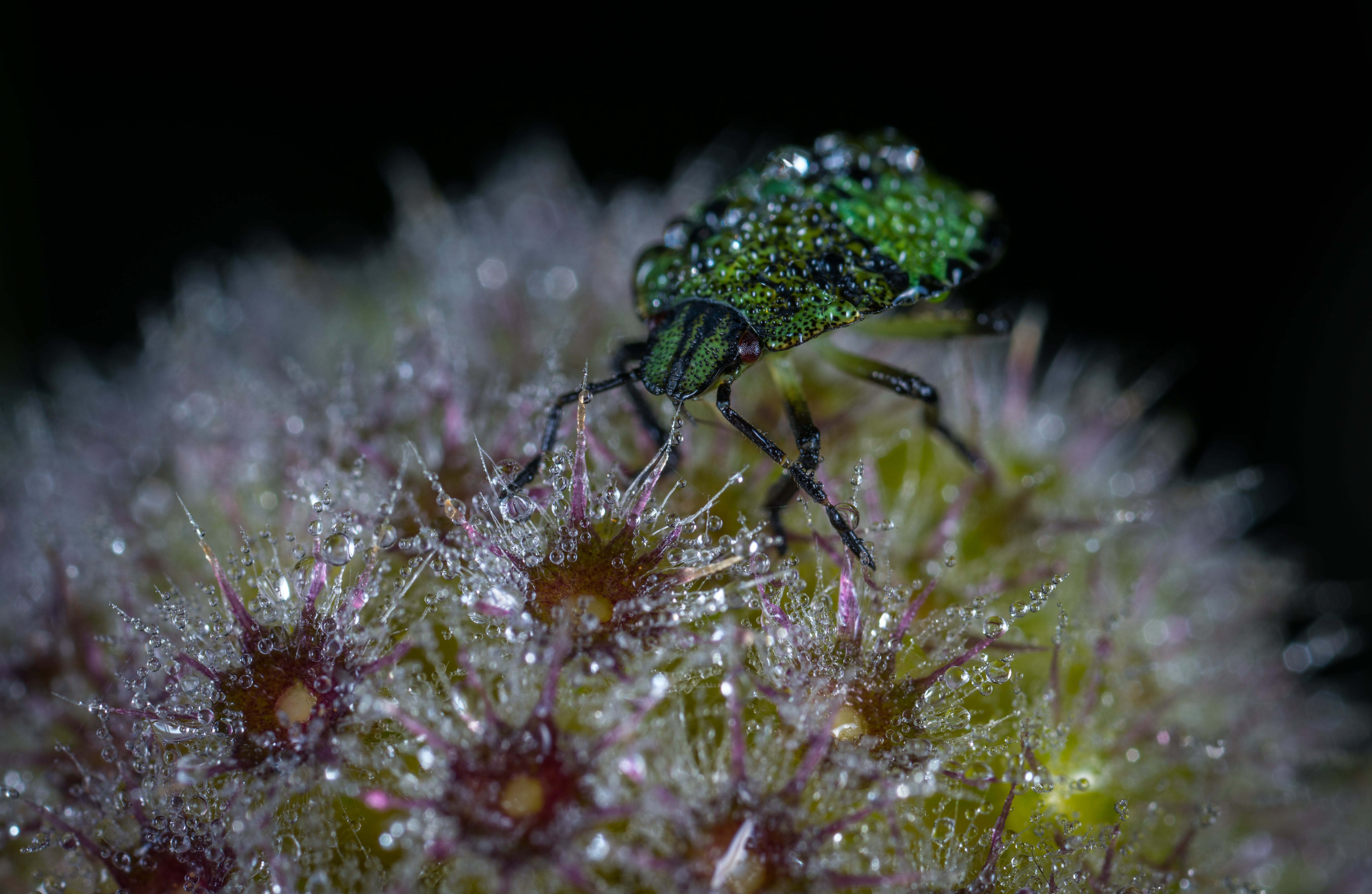 Green Bug on Flower Macro Photography