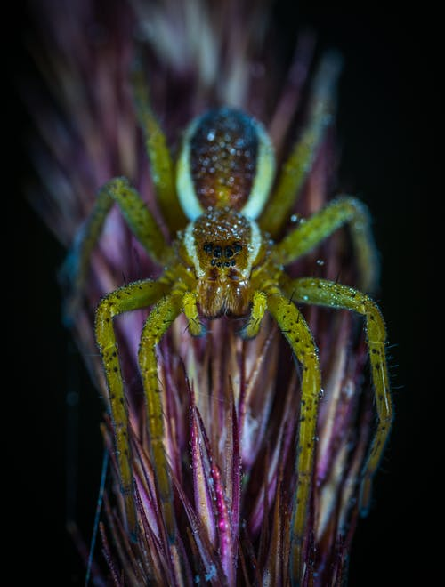 Macro Photography of Lynx Spider