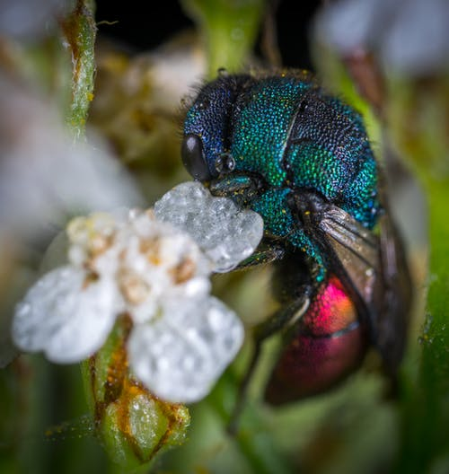 Blue and Red Cuckoo Wasp in Closeup Photo