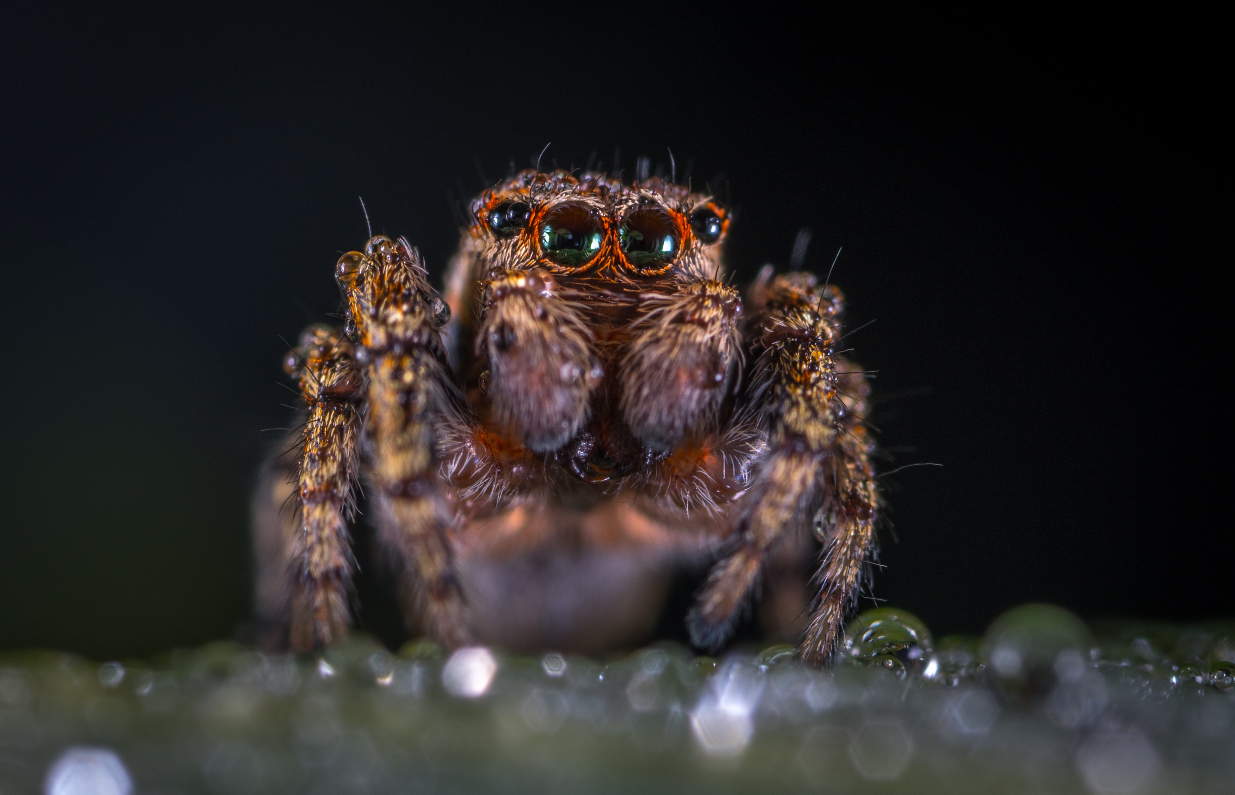 Macro Photography of Brown Jumping Spider
