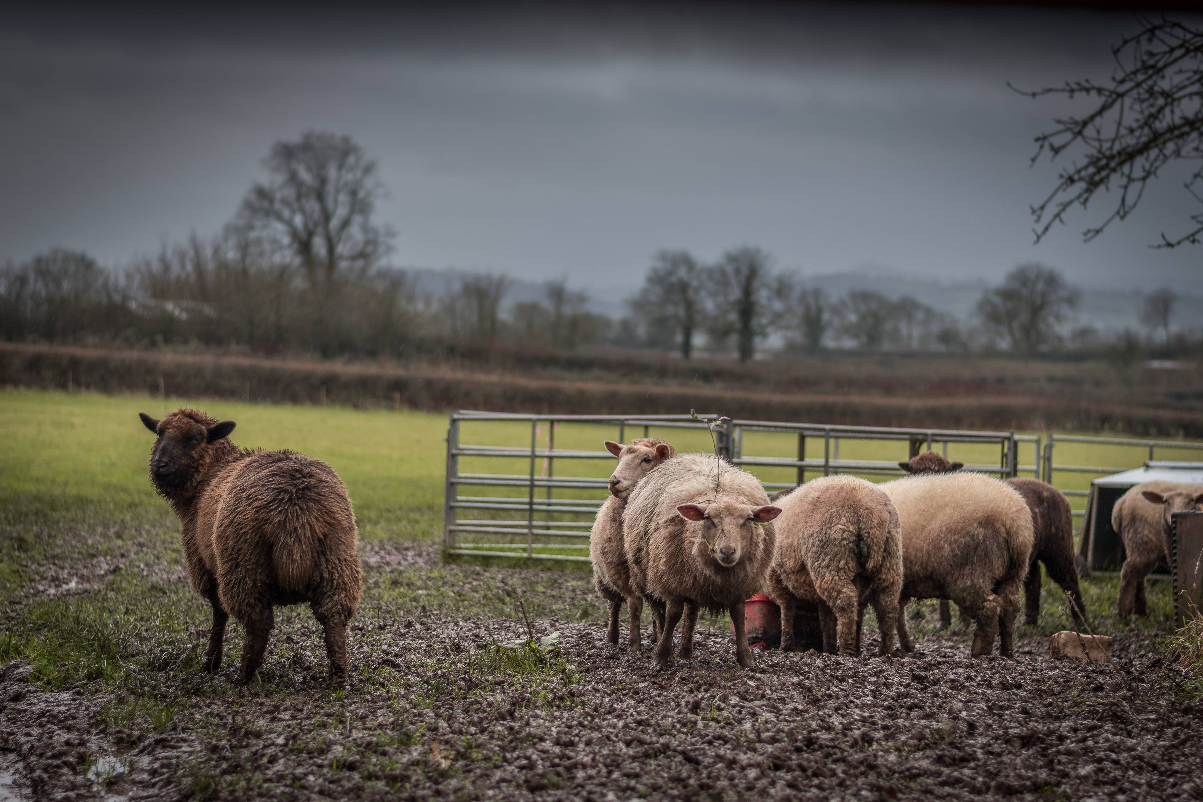 Herd of Brown and Beige Sheep on Field Under Gray Sky