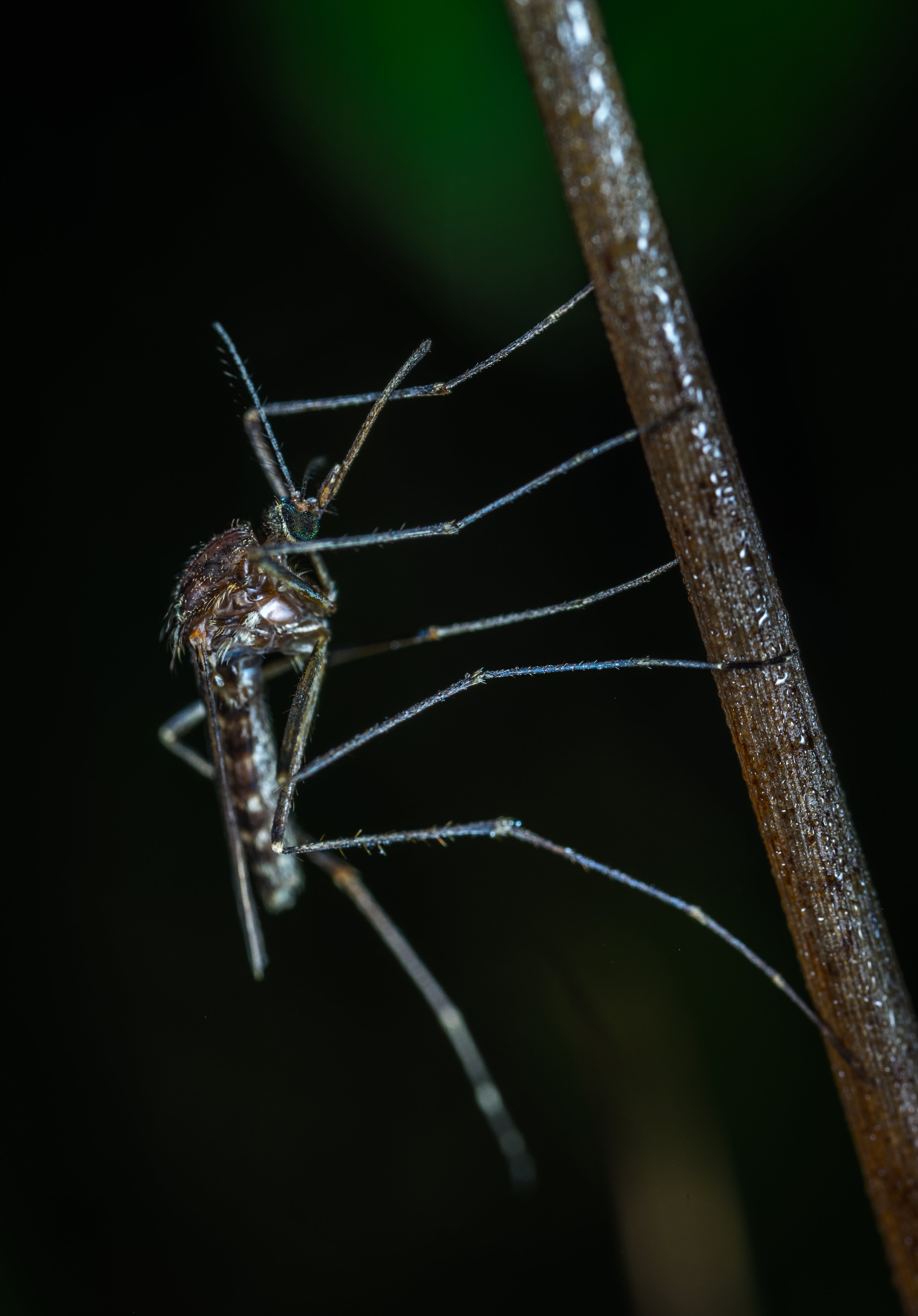 Black Mosquito Closeup Photo