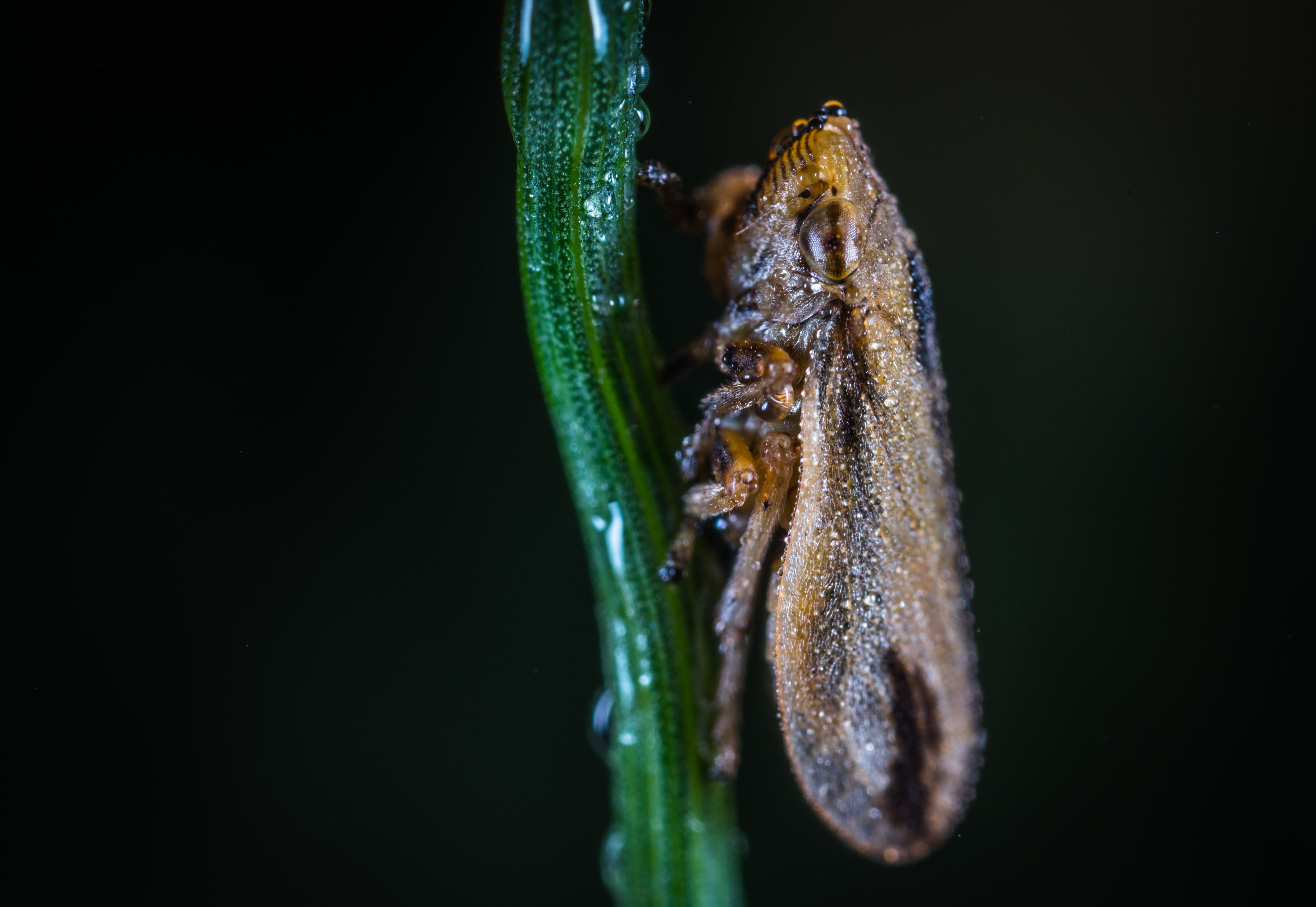 Macro Photography of Froghopper
