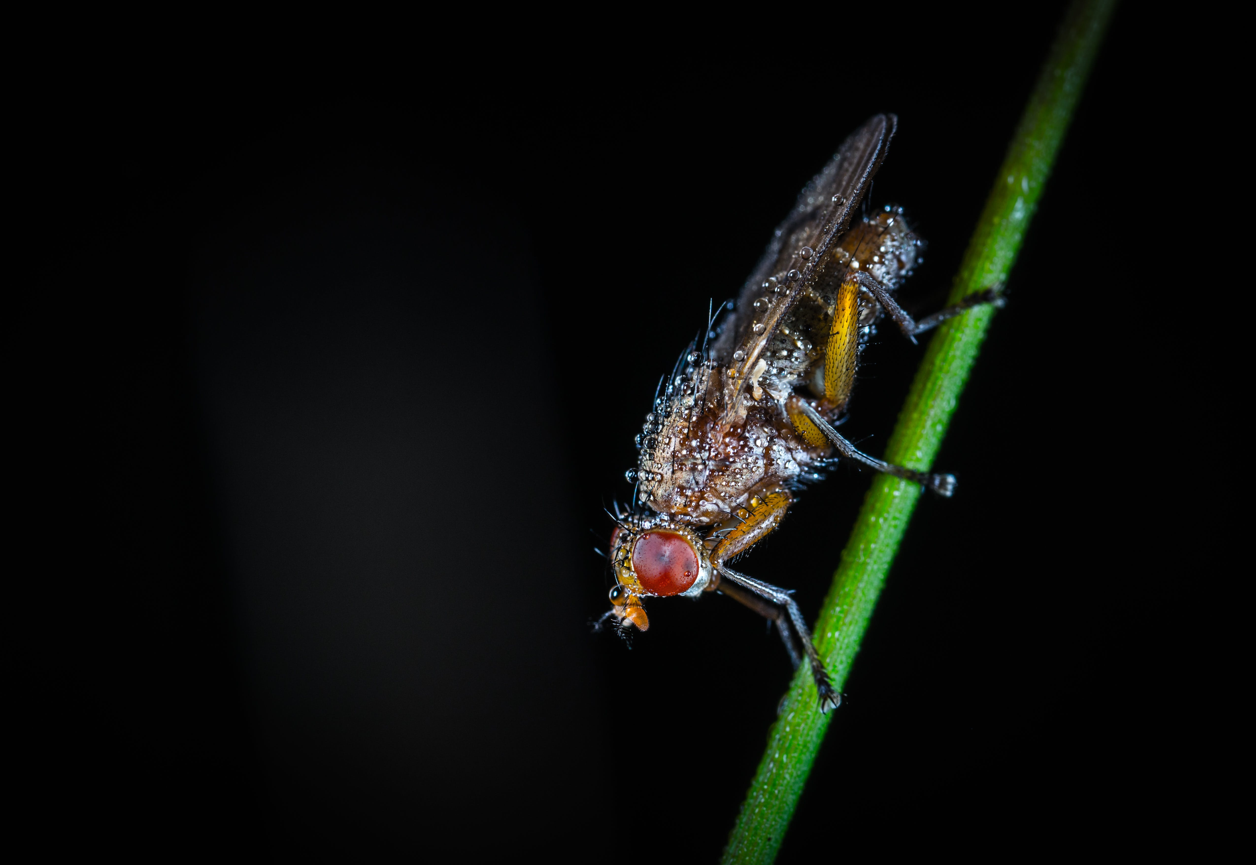 Free stock photo of dew, fly, insect, macro