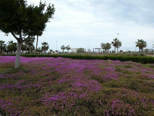 Gratis stockfoto met bloemen, boom, paars veld