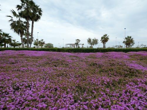 Gratis stockfoto met blauwe lucht, boom, paarse bloemen