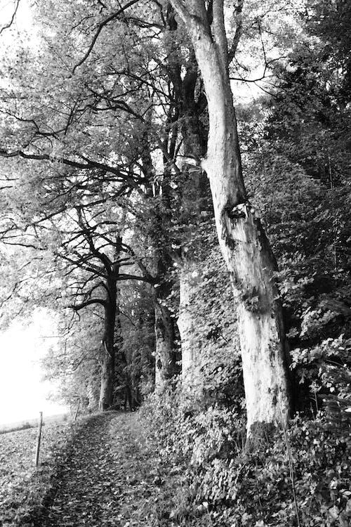 森林, 葉子, 離開, 黑白攝影 的 免费素材照片