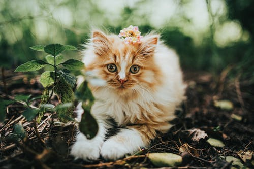 Cute fluffy kitty with white and red fluff sitting on forest floor in daytime and looking at camera