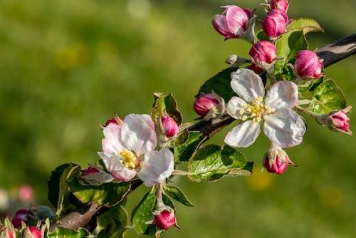 つぼみ, フローラ, リンゴの木の無料の写真素材