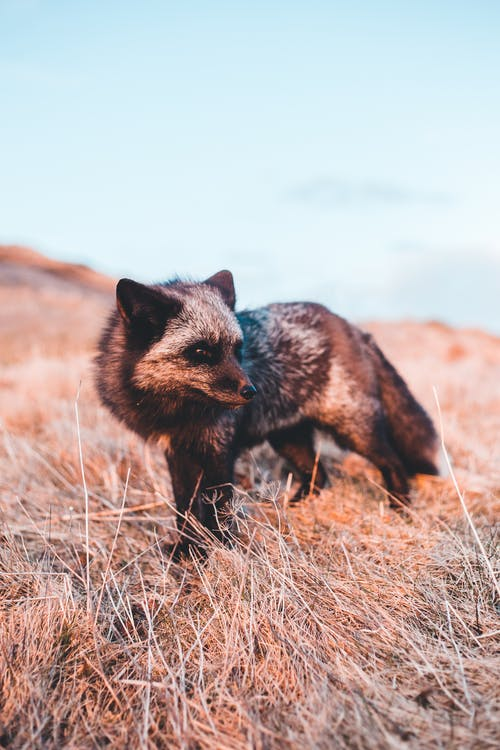 Close-Up Photo of a Silver Fox on Dry Grass
