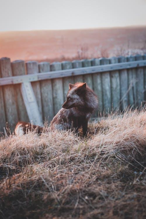 A Silver Fox Sitting on Dry Grass Near a Fence