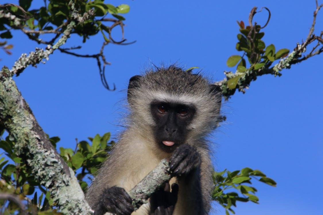 Free stock photo of animal, ape, blue sky