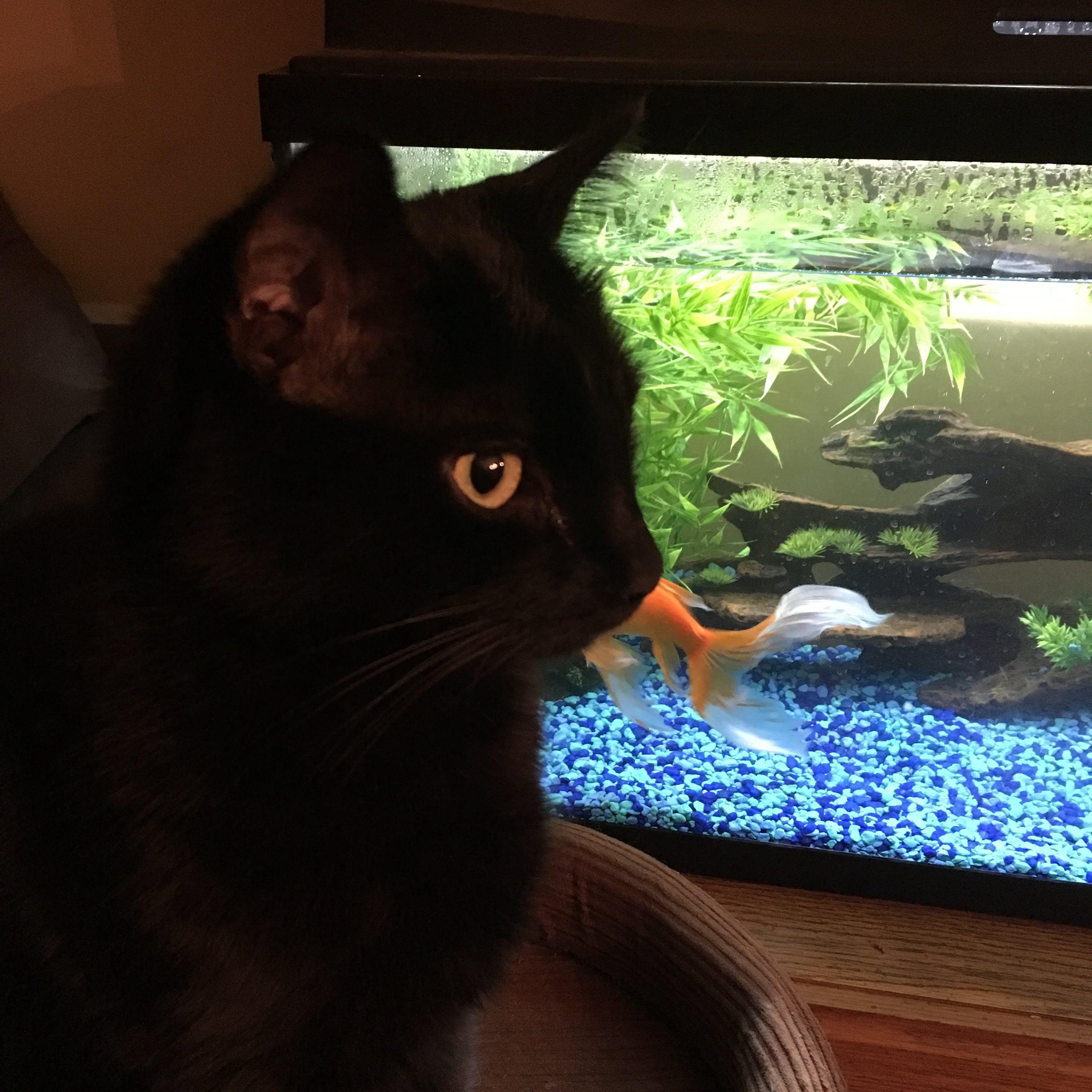 Free stock photo of night, cat, goldfish