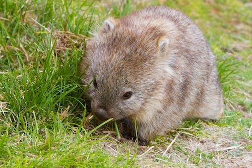 Gratis stockfoto met wombat
