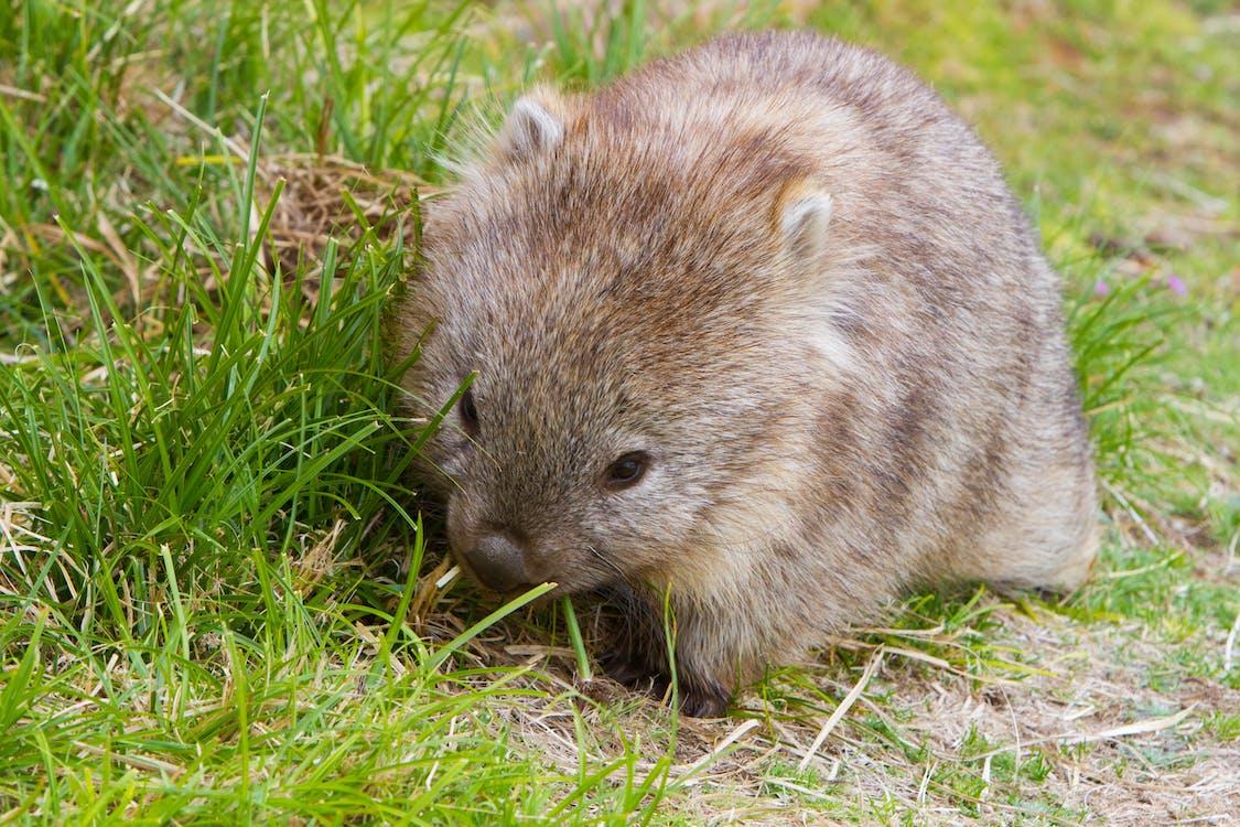 Free stock photo of wombat