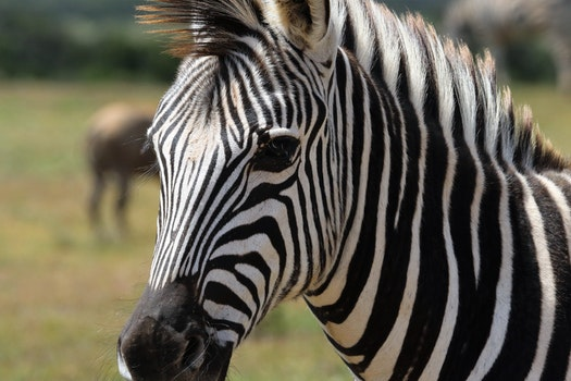 Selective Focus Photography of Zebra