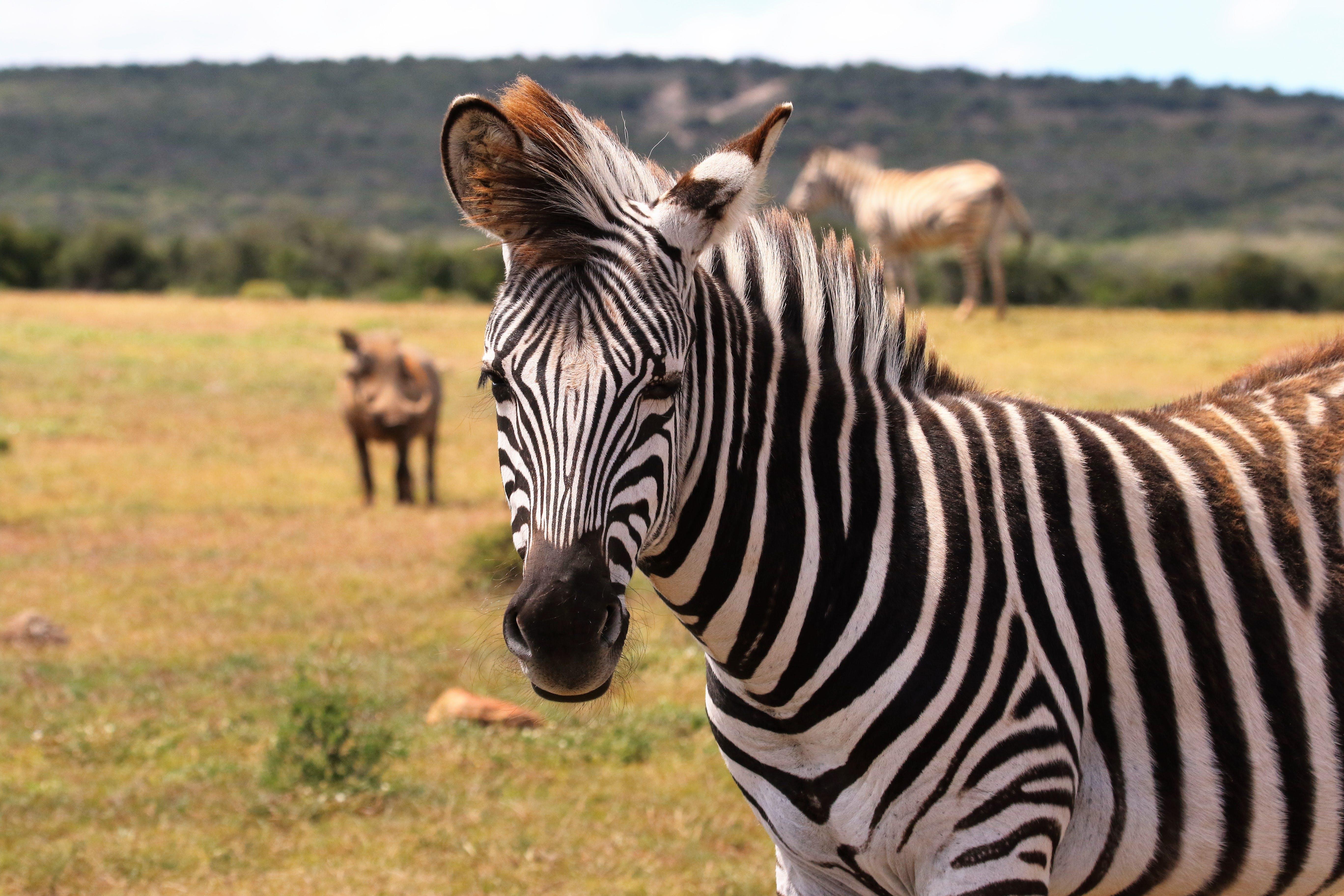 Zebra on Green Grass Field