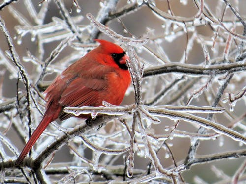 Free stock photo of cardinal, ice storm, winter