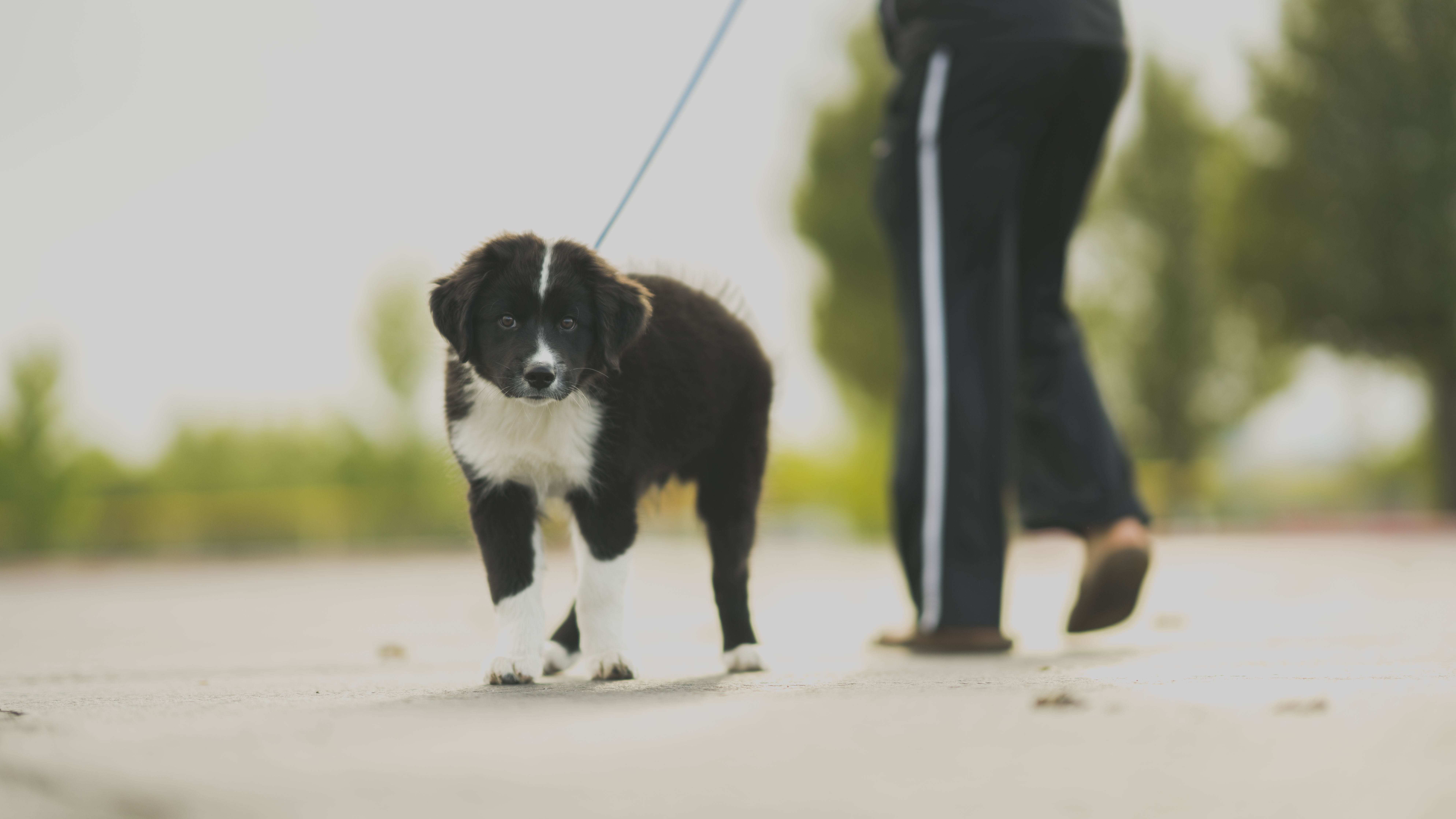 White and Black Border Collie Puppy Walk Beside Person in Track Pants