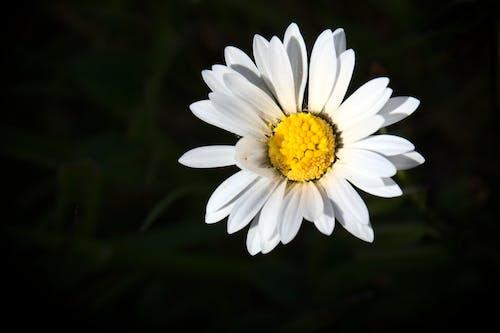 Free stock photo of daisy, flower, spring