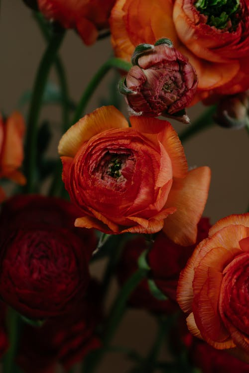 Blossoming orange Ranunculus with tender wavy petals on thin stems and pleasant aroma on blurred background