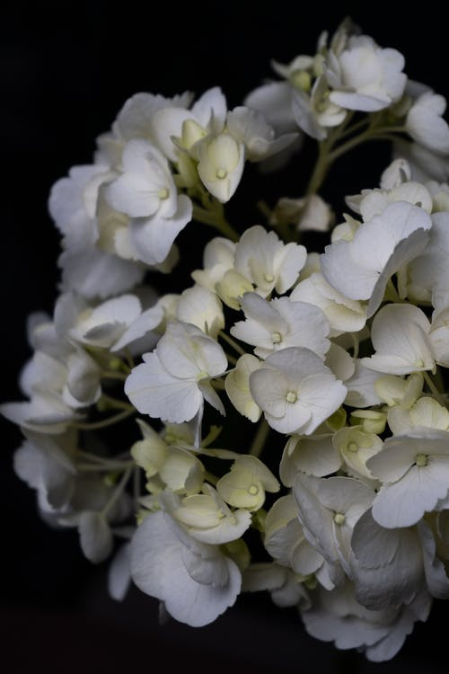 Blooming Hydrangea with gentle flowers on black background