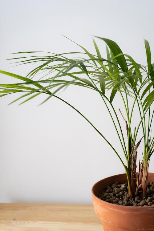 Foto stok gratis alami, angiospermae, arecaceae