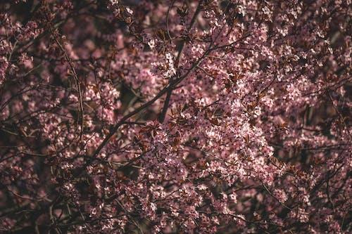 Безкоштовне стокове фото на тему «Весна, Вишня, відділення»