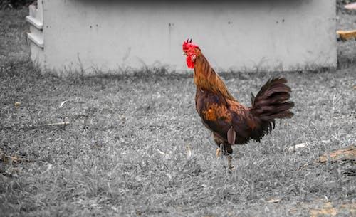 Ảnh lưu trữ miễn phí về gà, gà trống