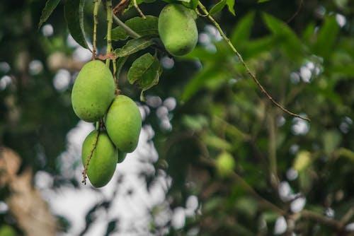 Ảnh lưu trữ miễn phí về cây ăn quả, tán lá xanh, trái cây