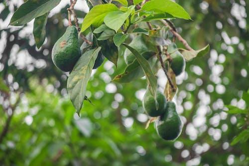 Foto profissional grátis de abacate, abacates, advogados