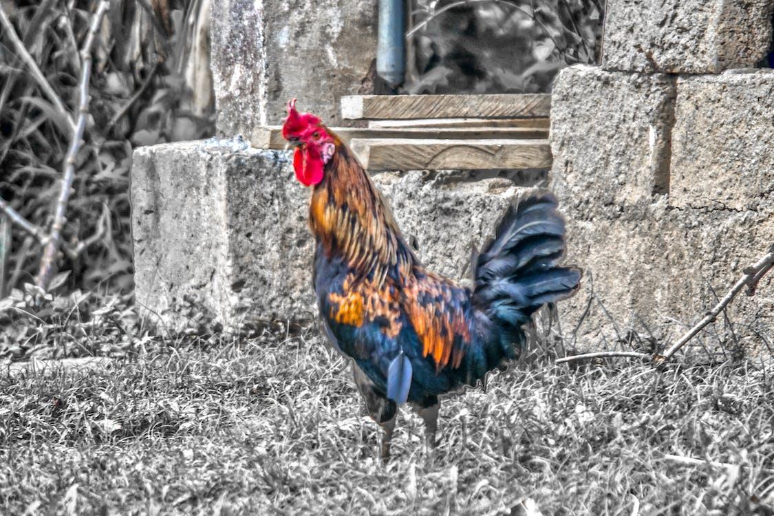 Foto profissional grátis de frango, galinha, galo