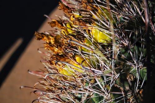 Fotobanka sbezplatnými fotkami na tému ekológia, fllower, hroty, kaktus