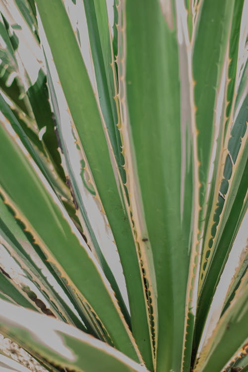 Gratis stockfoto met agave, agaveplant, aloë