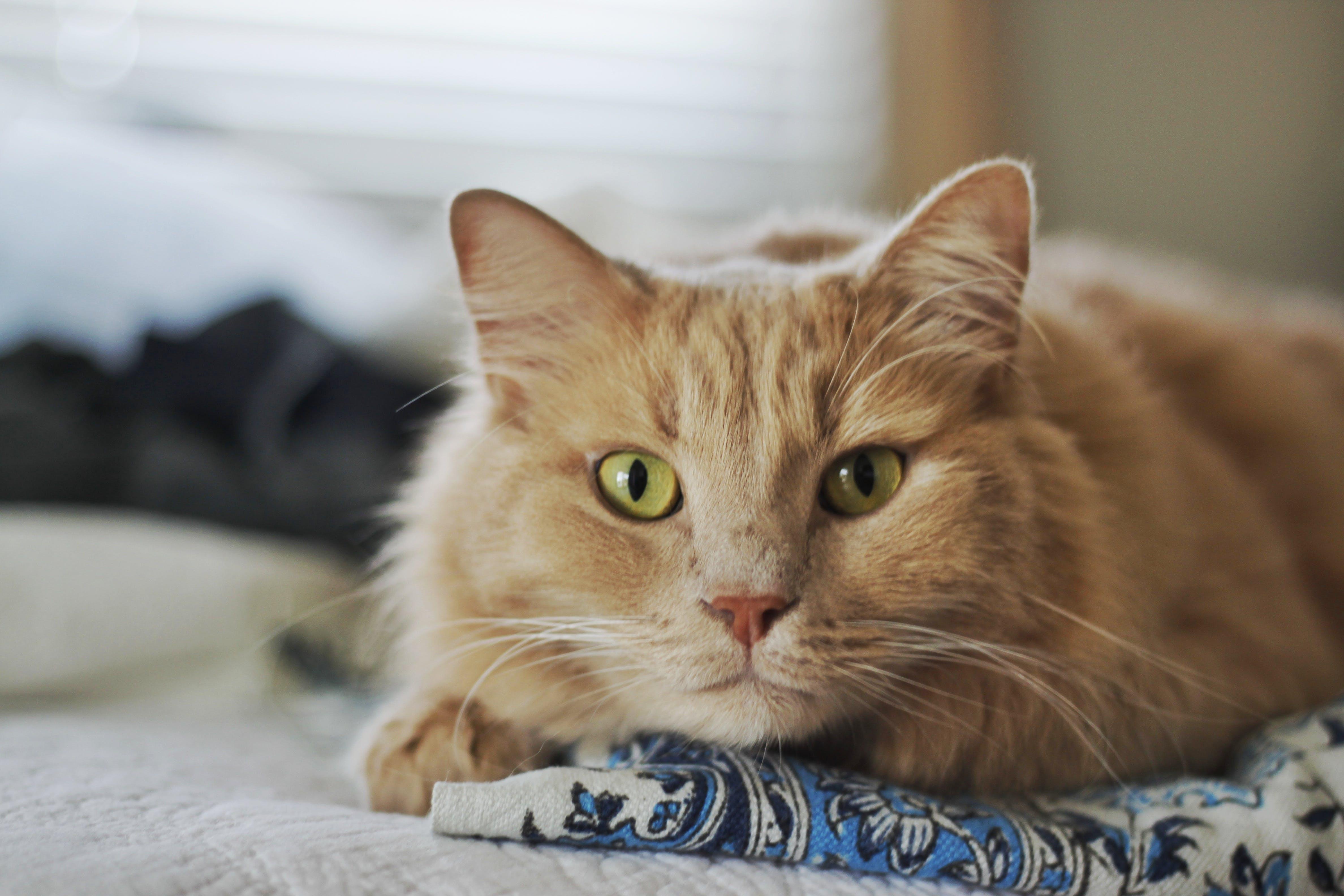 Free stock photo of cat, green eyes, kitty