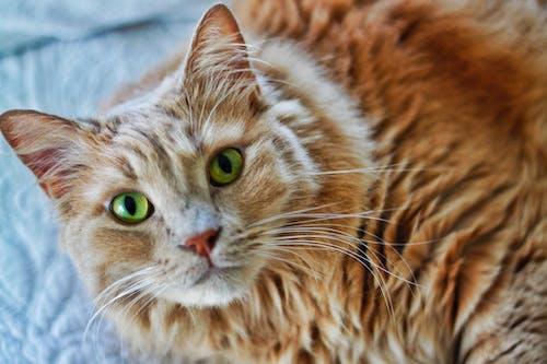 คลังภาพถ่ายฟรี ของ คิตตี้, ตาสีเขียว, แมว