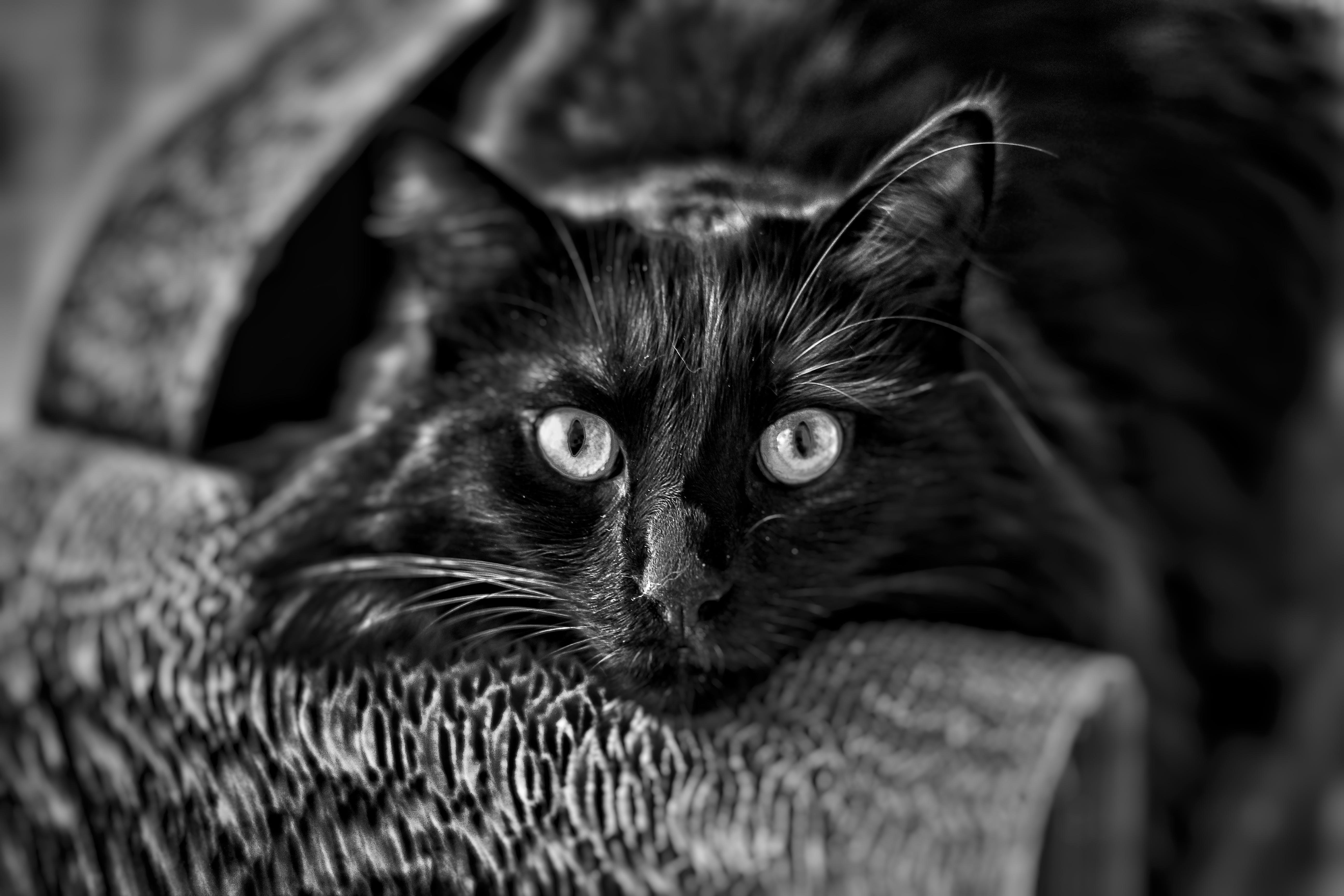 Free stock photo of balck and white, big eyes, black, black cat