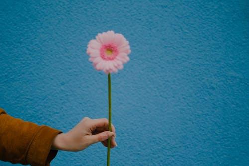 Person Holding Pink Flower With Green Stem
