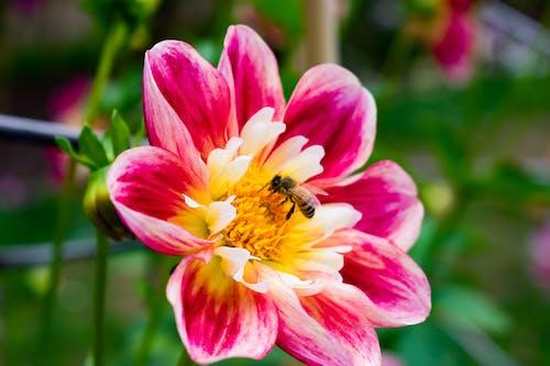Fotos de stock gratuitas de abeja, blanco, flor