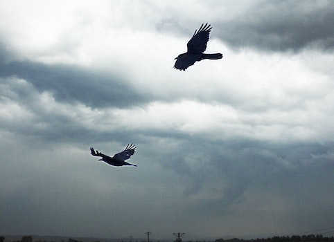 Free stock photo of birds, wings, crow, crows