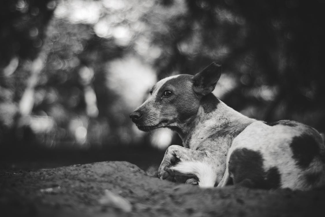 Grayscale Photography of Adult Short-coated Dog