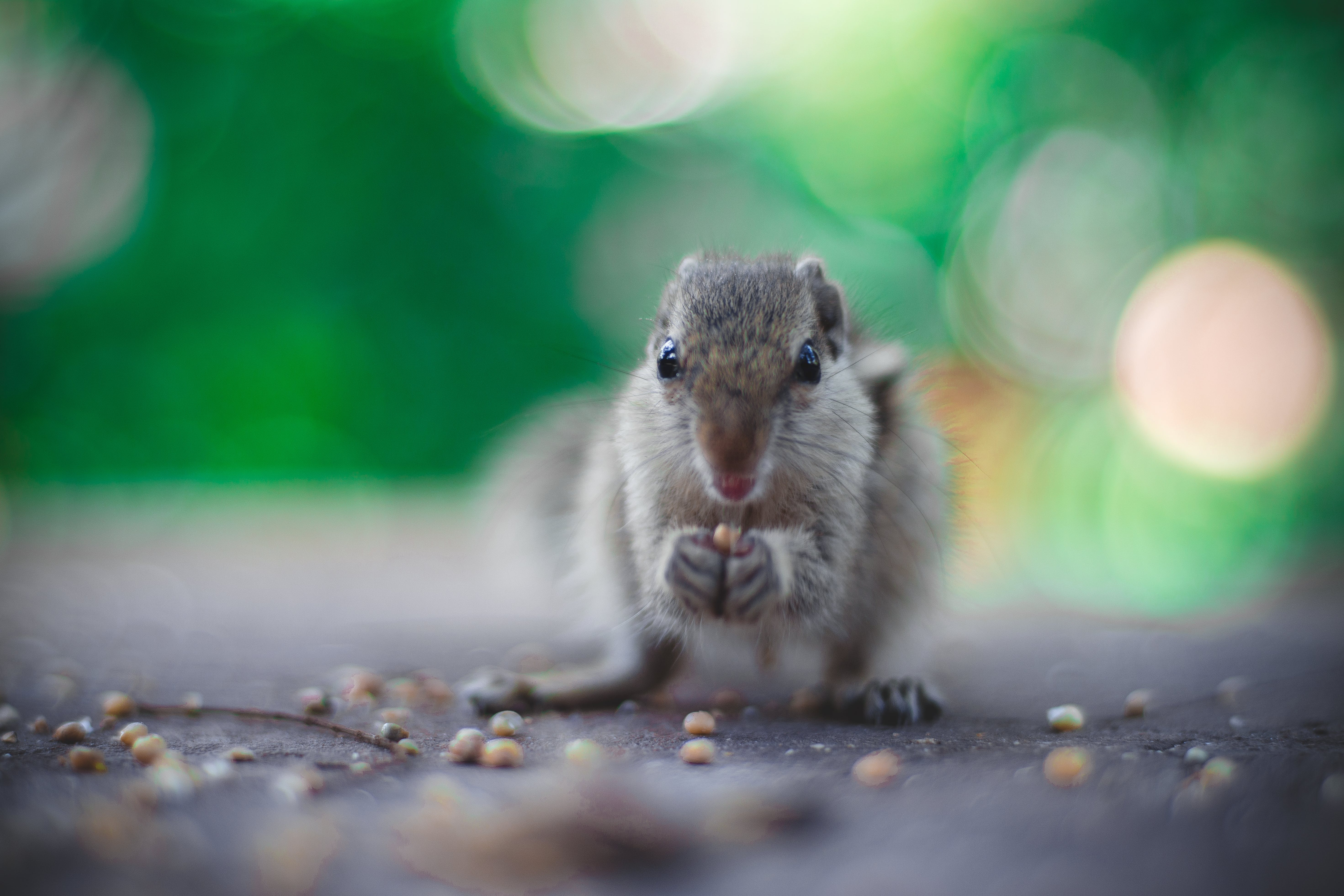 Selective Focus Photography of Gray Squirrel Holding Seeds