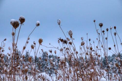 Free stock photo of color, dandelion, field
