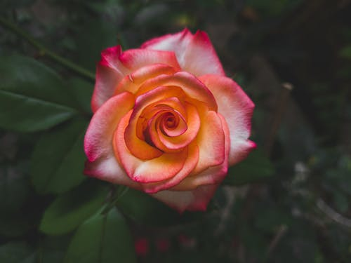 Macro Photography of a Blooming Pink Rose