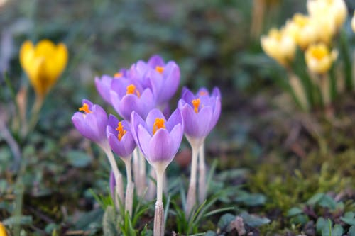 Close-Up Photo of Blooming Purple Early Crocus