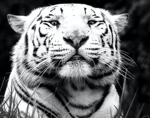 Free stock photo of white tiger