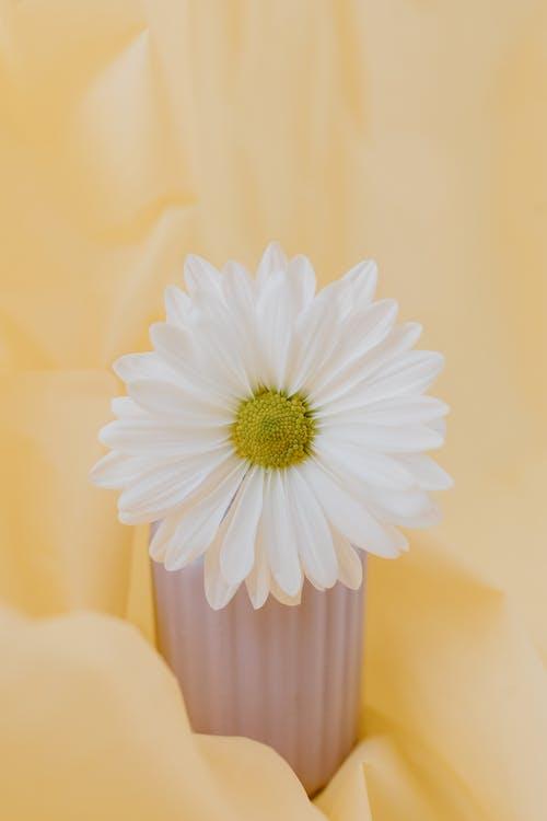 A White Shasta Daisy Flower in a Pot