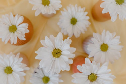 Flat Lay Photography of Blooming White Shasta Daisies Flowers
